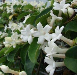 STEPHANOTIS FLORIBUNDAS (Madagascan Jasmine) 15 fresh 2021 seeds