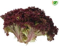 Lechuga Lollo Rossa  ( 600 semillas ) seeds