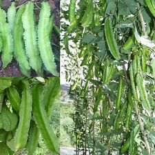 Asian Chinese WINGED BEAN 3 Seeds Psophocarpus Pea Organic Vegetable Free Ship
