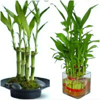 "7 Lucky Bamboo Plant 4"" Stalks, Feng Shui, GIFT,  LIVE PLANT Free Shipping"