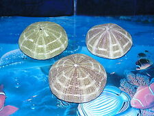 "THREE (3) 3"" to 3-1/2"" ALFONSO SEA URCHIN SEA SHELLS BEACH DECOR TROPICS CRAFT"