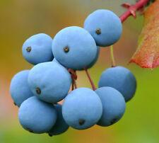 Oregon Grape   Mahonia aquifolium   Organic   10 Seeds  (Free US Shipping)