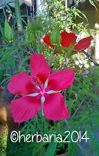 15 SEMI HIBISCUS COCCINEUS 2019 ibisco rosso seeds samen semillas graines
