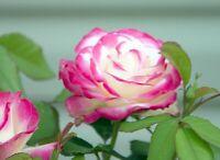 10 graines de Rosier Rose et Blanc / 10x Pink & White Rose rosebush seeds