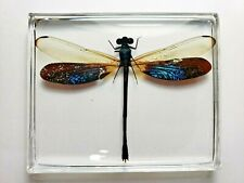 EUPHAEA SUBNODALIS. Real Damselfly immortalized in clear casting resin.