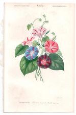 1849 Original Botanique Imprimé Pharbitis hispida par Ch. Orbigny, atlas volume 3