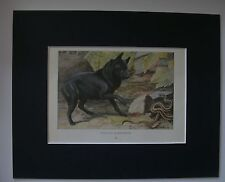 Schipperke Snake Dog Print Louis Fuertes Colored Bookplate 1919 Matted 8x10