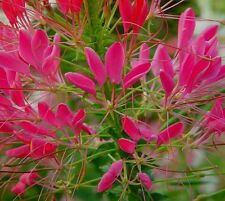F0117 Cleome Cherry Queen x50 seeds Very Showy Spider Flower