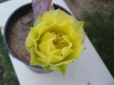 1 Fresh Cut Pad Purple Opunttia Chlorotica,Prickly Pear Santa Rita Cactus