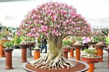 6 Seeds - Rare Desert Rose - ADENIUM OBESUM - Flower Garden Cacti/ Succulents