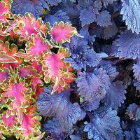 Coleus * 6 cuttings * Foliage Plant * Mixed Colour