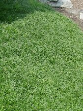 Dwarf Mondo Grass 250 Bare Root Divisions FREE SHIPPING