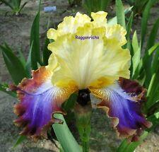 "New listing Tall Bearded ""Not A Clue"" Iris - A Spicy Fragrant Garden Rainbow '14 Perennial"