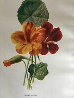 ANTIQUE PRINT C1900 INDIAN CRESS GARDEN FLOWERS BOTANY BOTANICAL FLOWER ART