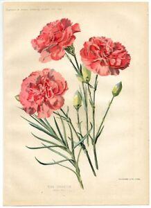 "Cromolitografia originale Fiori ""Tree carnation"" Collingridge Londra 1898 1XL309"