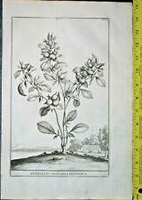 Anthyllis vesicaria Hispanica,Abraham Munting,rare&large Engraving,1696 #335
