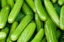 Persian Beit Alpha Cucumber Seeds, Lebanese Cucumber, NON-GMO, FREE SHIP
