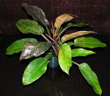 "HUGE Philodendron Hybrid X Black Cardinal EXACT PLANT Tropical Houseplant 6""Pot"