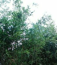 10 Moso bamboo seeds fast growing poles shoots Kyoto zen Phyllostachys edulis