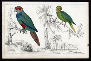 TIRIBA & COQUETTE PARAKEET Bird Parrot Family  1850 VICTORIAN ENGRAVING
