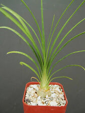 "2"" plant Beaucarnea Recurvata elephant foot ponytail palm pachycaul base 2 pot"