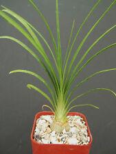 """2"""" plant Beaucarnea Recurvata elephant foot ponytail palm pachycaul base 2 pot"""