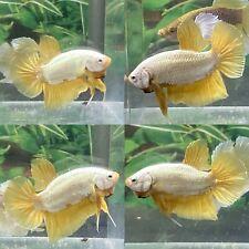 Live Betta Fish Male Yellow Dragon HMPK # CC35