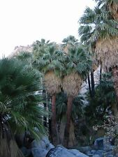 3 x Washingtonia filifera California fan palm (Sent in 9cm Pots)
