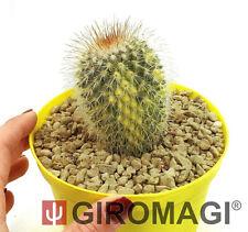 Mammillaria spinosissima variegata Ø14cm - GIROMAGI Cactus & Succulent plant