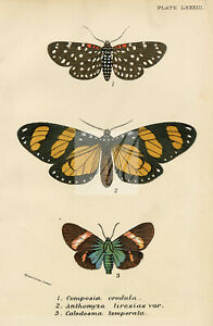 Antique Coloured Print Of Moths - Lloyd's Natural History 1896 #G68