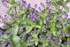 Veronica beccabunga (Brooklime) native bare root plant/rooted cutting.