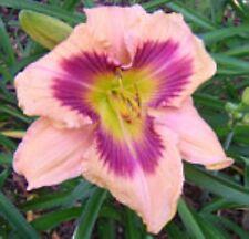 Daylily Paper Butterfly peach hemerocallis plant Rebloom ~ Df or 2 Plants
