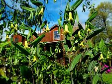 PLANT~Uvularia perfoliata Merry Bells *NATIVE*~Bare Root