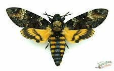 Deaths Kopf Hawk Schmetterling Acherontia Atropos Set x1 Stecker A- Silence Der