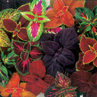 OUT OF STOCK rainbow COLEUS FLOWER SEEDS, Bright Victorian Florals