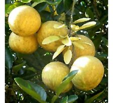 Aegle marmelos BENGAL QUINCE TREE Seeds!