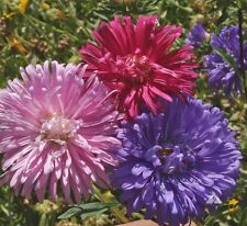 Aster Seeds - CREGO MIX - Giant Flowering Annuals - Heirloom!!! - 50 Seeds