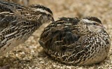 24 Japanese Coturnix Quail Hatching Eggs for Sale - Various colours