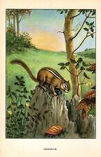 """1926 Vintage ANIMALS """"CHIPMUNK"""" GORGEOUS COLOR Art Print Plate Lithograph"""