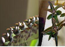 10 plantules de KALANCHOE DAIGREMONTIANA , cactus,succulentes, plante grasse,