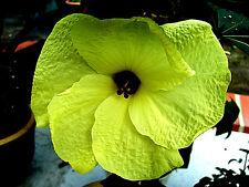 "gelbe Riesenmalve OKRA ""Abelmoschus esculentus"" Hibiskusart, Riesenblüte, Gemüse"
