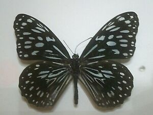 Real Butterfly/Insect/Moth Non Set B7488 Tirumala species Blue Tiger P.N.G x 1