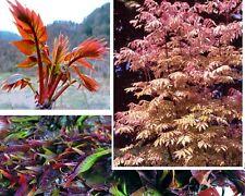 Winterharter Gemüsebaum Toona sinensis : Exquisites Gemüse ❆ Sukkulente ❆ Samen
