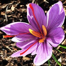 "25 Saffron Crocus Corms ""Seed"" Corms - Medium Size"