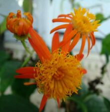 MEXICAN FLAME VINES☆Senecio confusus Vine☆ Starter Plant ATTRACTS  BUTTERFLIES