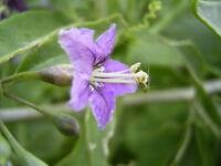 15 Semillas de Lycium Barbarum (Goji, bayas de Goji o cerezas de Goji)