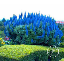 100 PCS Seeds Outdoor Plants Pride Of Madeira Bonsai Echium Fastuosum Flowers N