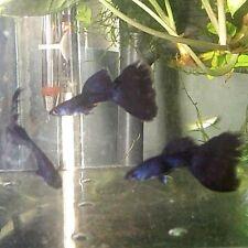 2 TRIO MAGIC BLUE THUNDERBOLT 6 GUPPIES Deep Dark Royal Navy Young Fancy Guppy