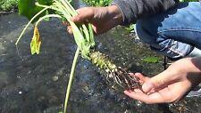 200 Seeds Of  Wasabi Seeds Horseradish Seed Japanese Vegetable+Shipping