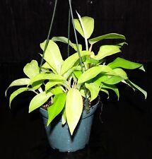 """Neon Philodendron Golden Emerald 5"""" Hanging Tropical Indoor/Outdoor Houseplant"""